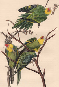 Audubon 1840 First Edition Royal Octavo Print 278 Carolina Parrot or Parakeet, detail