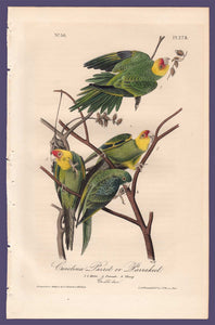 Audubon 1840 First Edition Royal Octavo Print 278 Carolina Parrot or Parakeet, full sheet