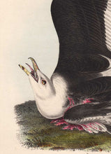 Load image into Gallery viewer, Audubon 1840 First Edition Royal Octavo Print 450 Great Black-Backed Gull, detail