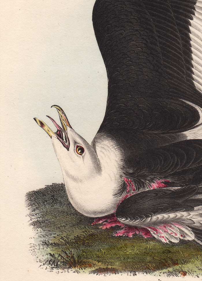 Audubon 1840 First Edition Royal Octavo Print 450 Great Black-Backed Gull, detail