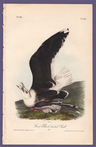 Audubon 1840 First Edition Royal Octavo Print 450 Great Black-Backed Gull, full sheet
