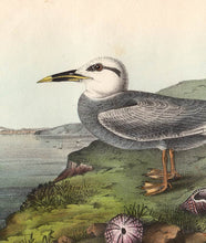 Load image into Gallery viewer, Audubon 1840 First Edition Royal Octavo Print 435 Trudeau's Tern, detail