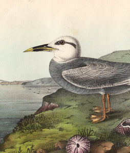 Audubon 1840 First Edition Royal Octavo Print 435 Trudeau's Tern, detail