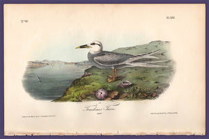 Audubon 1840 First Edition Royal Octavo Print 435 Trudeau's Tern, full sheet