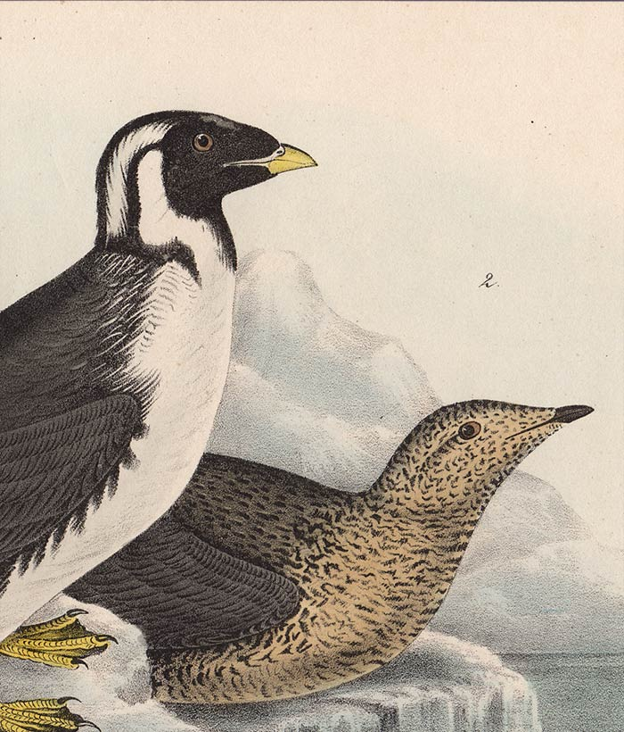 Audubon 1840 First Edition Royal Octavo Print 470 Black-Throated Guillemot, detail