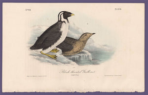 Audubon 1840 First Edition Royal Octavo Print 470 Black-Throated Guillemot, full sheet