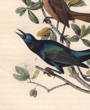 Load image into Gallery viewer, Audubon 1840 First Edition Royal Octavo Print 220 Boat-Tailed Grackle, detail