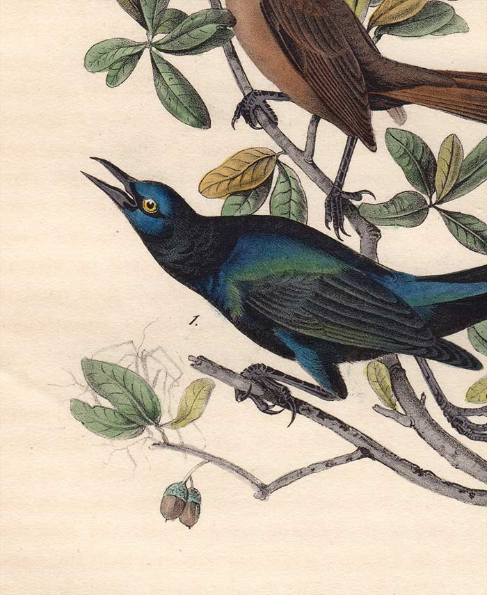 Audubon 1840 First Edition Royal Octavo Print 220 Boat-Tailed Grackle, detail