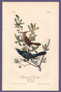 Audubon 1840 First Edition Royal Octavo Print 220 Boat-Tailed Grackle, full sheet