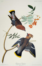 Load image into Gallery viewer, Audubon Abbeville Press Print for sale Plate 363 Bohemian Waxwing, plate view