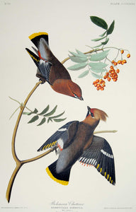 Audubon Abbeville Press Print for sale Plate 363 Bohemian Waxwing, plate view