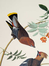 Load image into Gallery viewer, Audubon Abbeville Press Print for sale Plate 363 Bohemian Waxwing, detail