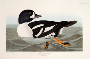 Audubon Abbeville Press Print for sale Pl 403 Golden-Eye Duck, plate