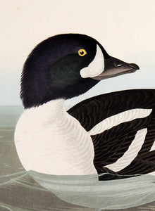Audubon Abbeville Press Print for sale Pl 403 Golden-Eye Duck, detail