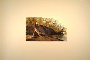 Audubon Amsterdam Print for sale Plate 239 American Coot, full sheet view
