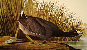 Audubon Amsterdam Print for sale Plate 239 American Coot, closer view