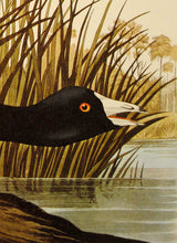 Load image into Gallery viewer, Audubon Amsterdam Print for sale Plate 239 American Coot, detail