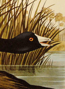 Audubon Amsterdam Print for sale Plate 239 American Coot, detail