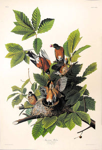 Audubon Amsterdam Print for sale Plate 131 American Robin, full sheet view
