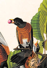 Load image into Gallery viewer, Audubon Amsterdam Print for sale Plate 131 American Robin, detail
