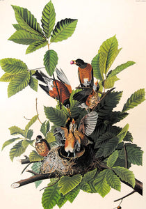 Audubon Amsterdam Print for sale Plate 131 American Robin, closer view