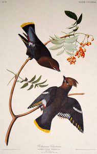 Audubon Amsterdam Print for sale Plate 363 Bohemian Waxwing, plate view
