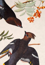 Load image into Gallery viewer, Audubon Amsterdam Print for sale Plate 363 Bohemian Waxwing, detail
