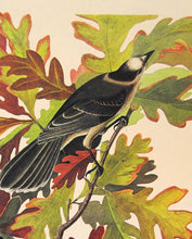 Load image into Gallery viewer, Audubon Amsterdam Print for sale Pl 107 Canada Jay, detail