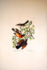Audubon Amsterdam Print for sale Pl 369 Mountain Mockingbird & Thrush, full sheet