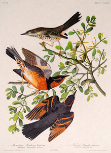 Audubon Amsterdam Print for sale Pl 369 Mountain Mockingbird & Thrush, plate