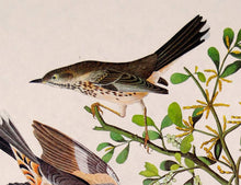Load image into Gallery viewer, Audubon Amsterdam Print for sale Pl 369 Mountain Mockingbird & Thrush, detail