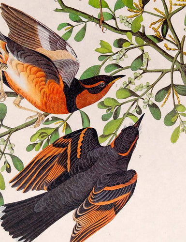 Audubon Amsterdam Print for sale Pl 369 Mountain Mockingbird & Thrush, detail