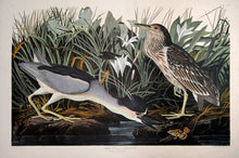 Load image into Gallery viewer, Audubon Amsterdam Print for sale Plate 236 Night Heron or Qua Bird, full sheet view
