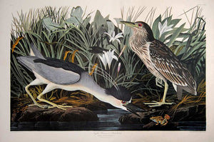 Audubon Amsterdam Print for sale Plate 236 Night Heron or Qua Bird, full sheet view