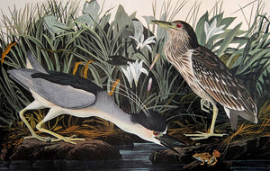 Audubon Amsterdam Print for sale Plate 236 Night Heron or Qua Bird, closer view