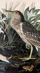 Audubon Amsterdam Print for sale Plate 236 Night Heron or Qua Bird, detail