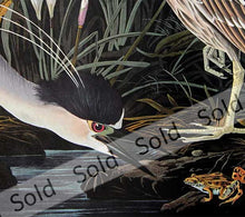 Load image into Gallery viewer, Audubon Amsterdam Prints for sale Pl 236 Night Heron, detail