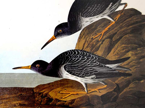 Audubon Amsterdam Print for sale Pl 284 Purple Sandpiper, detail