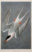 Load image into Gallery viewer, Audubon Amsterdam Print for sale Pl 240 Roseate Tern, plate