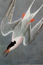 Load image into Gallery viewer, Audubon Amsterdam Print for sale Pl 240 Roseate Tern, detail