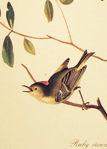 Audubon Amsterdam Print for sale Plate 195 Ruby Crowned Wren, detail