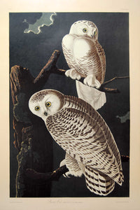 Audubon Amsterdam Print for sale Plate 121 Snowy Owl, full sheet view