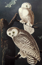Load image into Gallery viewer, Audubon Amsterdam Print for sale Plate 121 Snowy Owl, closer view
