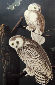 Audubon Amsterdam Print for sale Plate 121 Snowy Owl, closer view