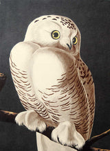 Load image into Gallery viewer, Audubon Amsterdam Print for sale Plate 121 Snowy Owl, detail