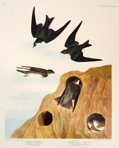 Audubon Amsterdam Print for sale Pl 385 Two Swallows, plate