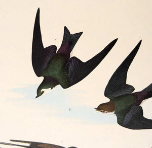 Audubon Amsterdam Print for sale Pl 385 Two Swallows, detail