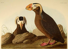 Load image into Gallery viewer, Audubon Amsterdam Print for sale Plate 249 Tufted Auk, closer view