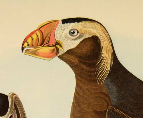 Audubon Amsterdam Print for sale Plate 249 Tufted Auk, detail