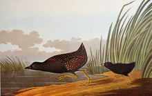 Load image into Gallery viewer, Audubon Amsterdam Print for sale Pl 349 Least Water Hen, plate